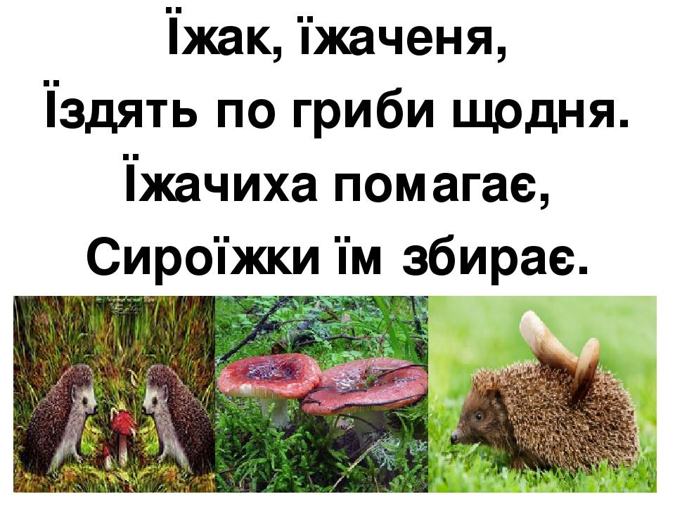 Їжак, їжаченя, Їздять по гриби щодня. Їжачиха помагає, Сироїжки їм збирає.