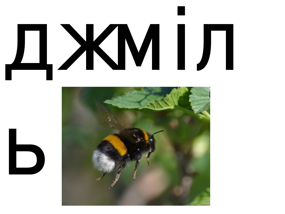 джміль