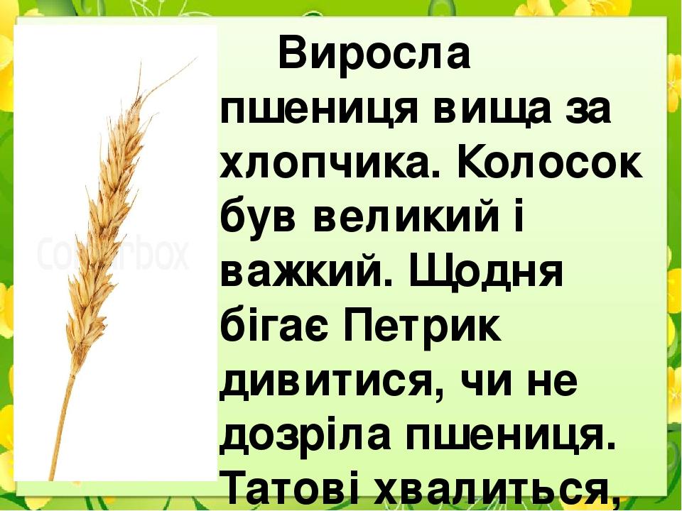 Виросла пшениця вища за хлопчика. Колосок був великий і важкий. Щодня бігає Петрик дивитися, чи не дозріла пшениця. Татові хвалиться, що його колос...