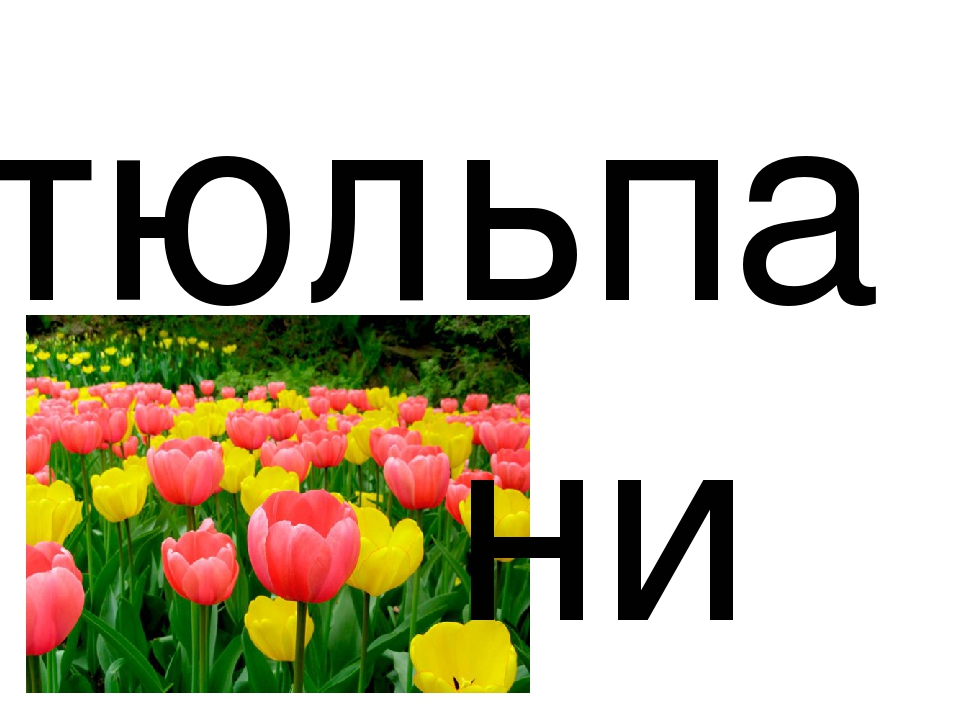 тюльпа ни