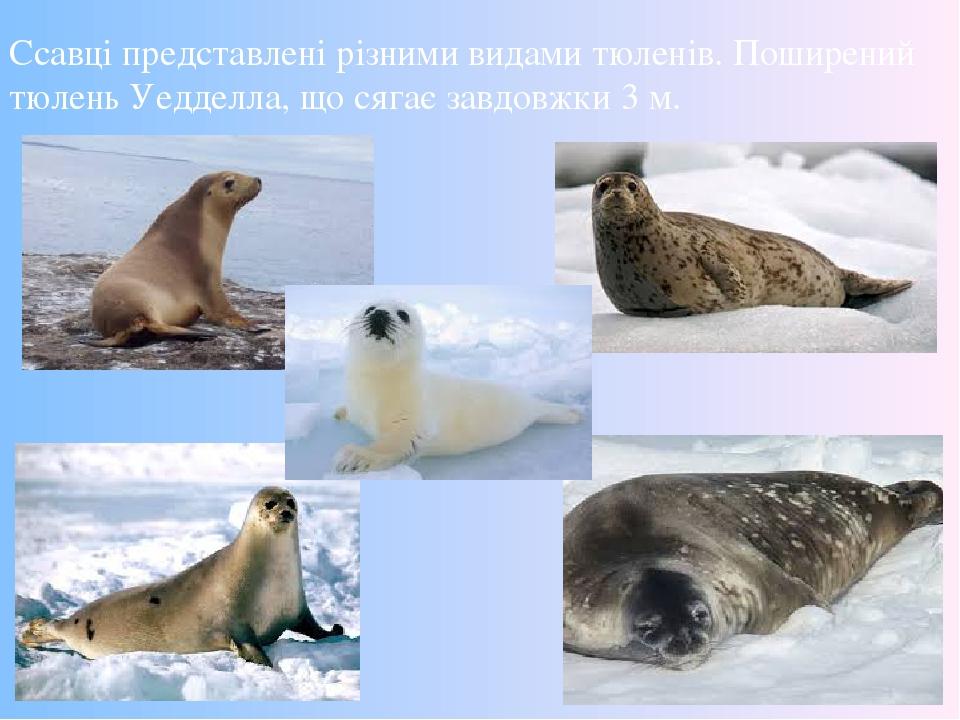 Ссавці представлені різними видами тюленів. Поширений тюлень Уедделла, що сягає завдовжки 3 м.