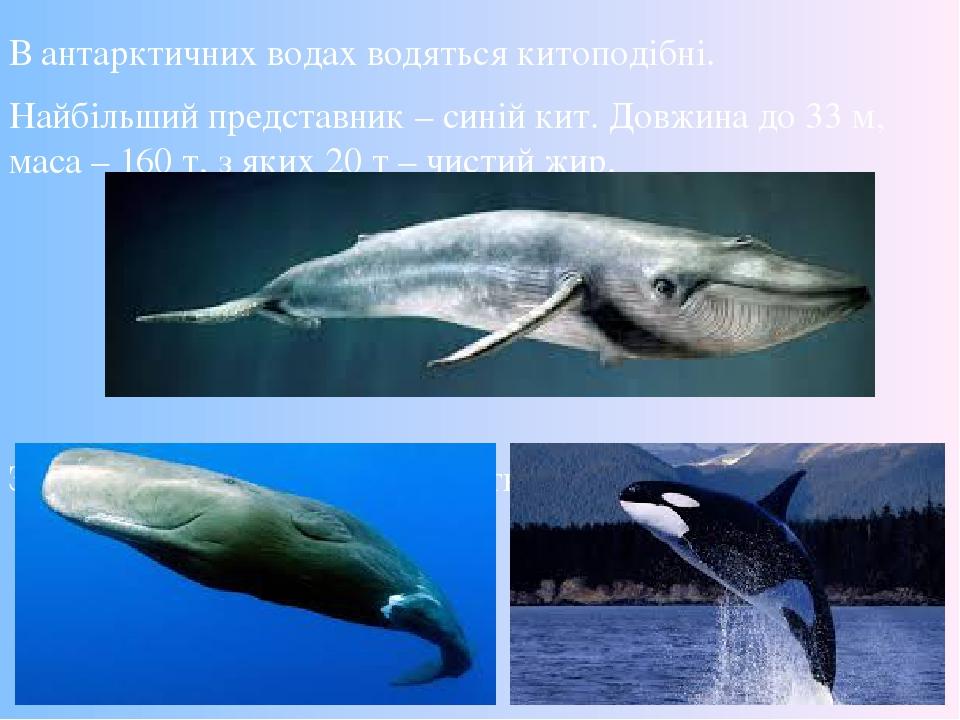 В антарктичних водах водяться китоподібні. Найбільший представник – синій кит. Довжина до 33 м, маса – 160 т, з яких 20 т – чистий жир. Зустрічають...