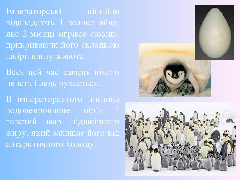Імператорські пінгвіни відкладають 1 велике яйце, яке 2 місяці зігріває самець, прикриваючи його складкою шкіри внизу живота. Весь цей час самець н...