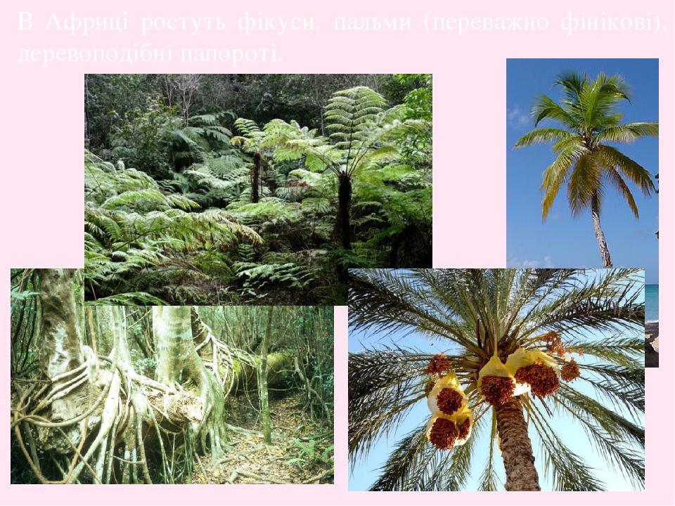 В Африці ростуть фікуси, пальми (переважно фінікові), деревоподібні папороті.