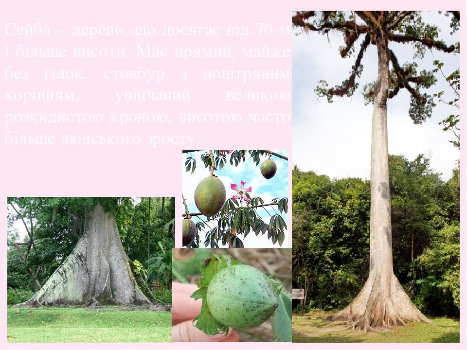 Сейба – дерево, що досягає від 70 м і більше висоти. Має прямий, майже без гілок, стовбур з повітряним корінням, увінчаний великою розкидистою крон...