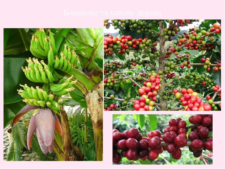 Бананове та кавове дерева
