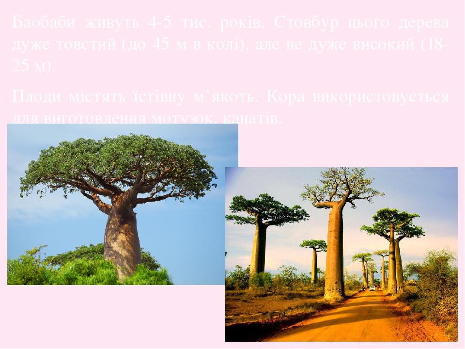 Баобаби живуть 4-5 тис. років. Стовбур цього дерева дуже товстий (до 45 м в колі), але не дуже високий (18-25 м). Плоди містять їстівну м'якоть. Ко...