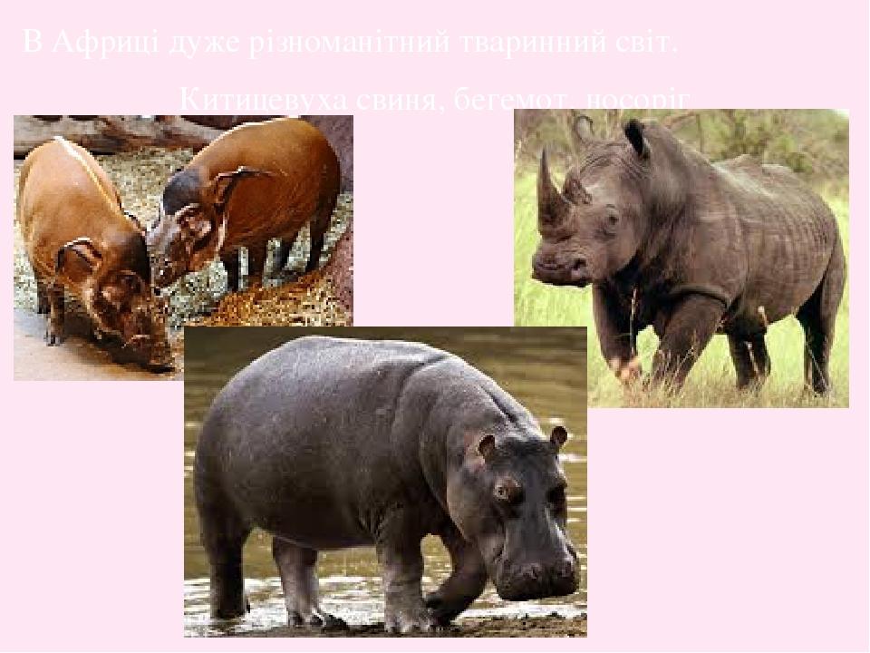 В Африці дуже різноманітний тваринний світ. Китицевуха свиня, бегемот, носоріг
