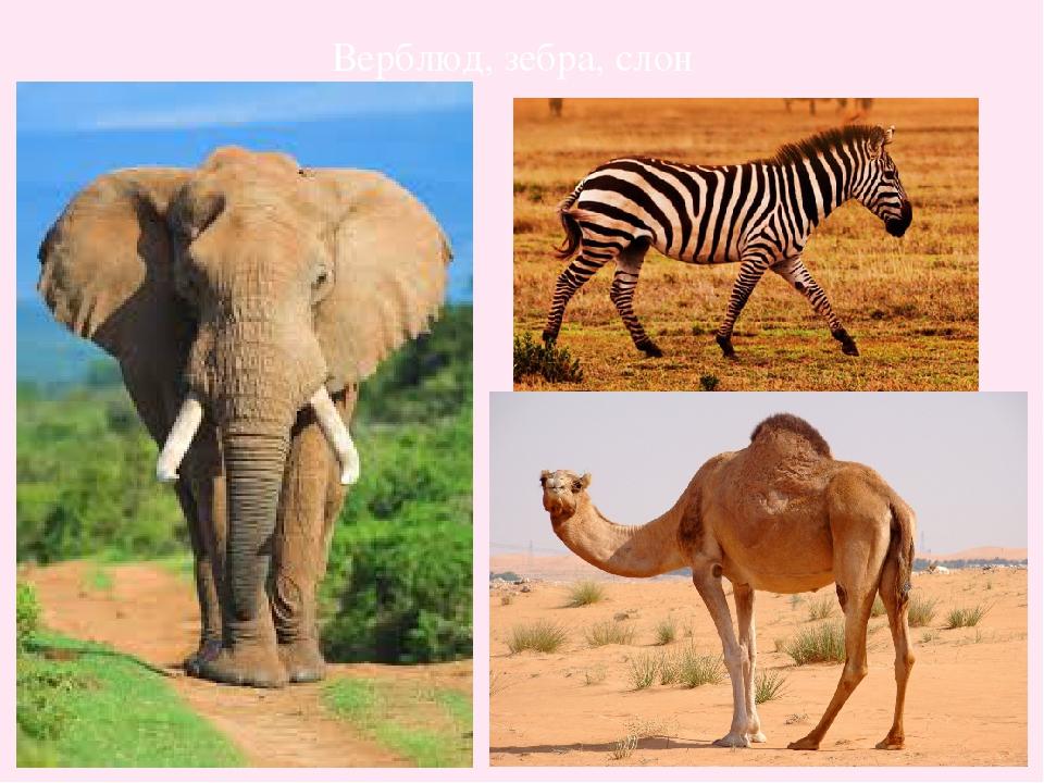 Верблюд, зебра, слон