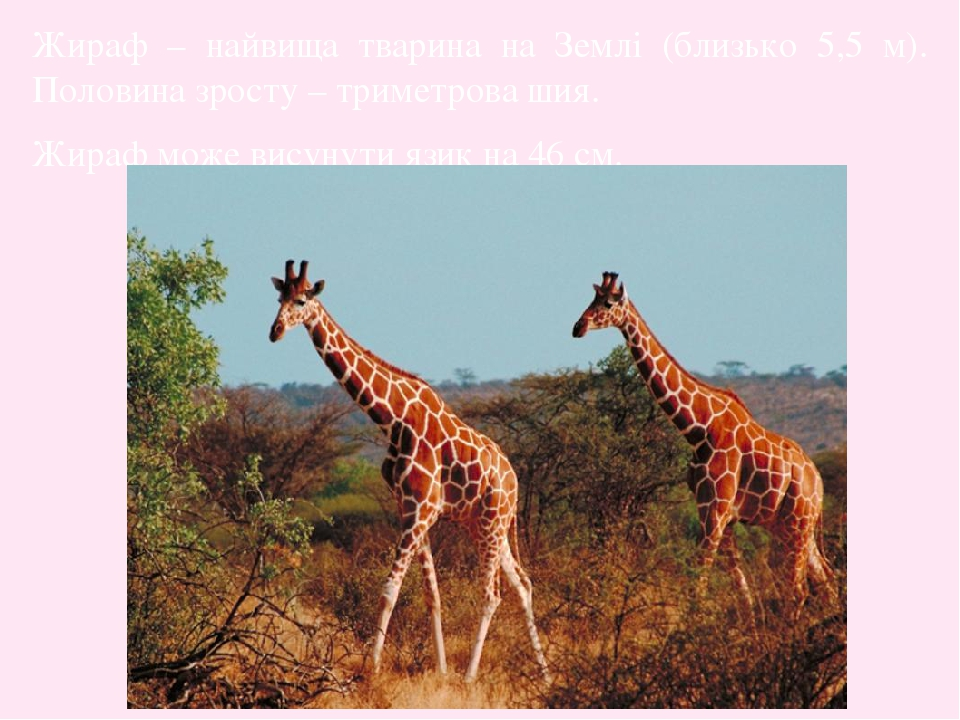 Жираф – найвища тварина на Землі (близько 5,5 м). Половина зросту – триметрова шия. Жираф може висунути язик на 46 см.