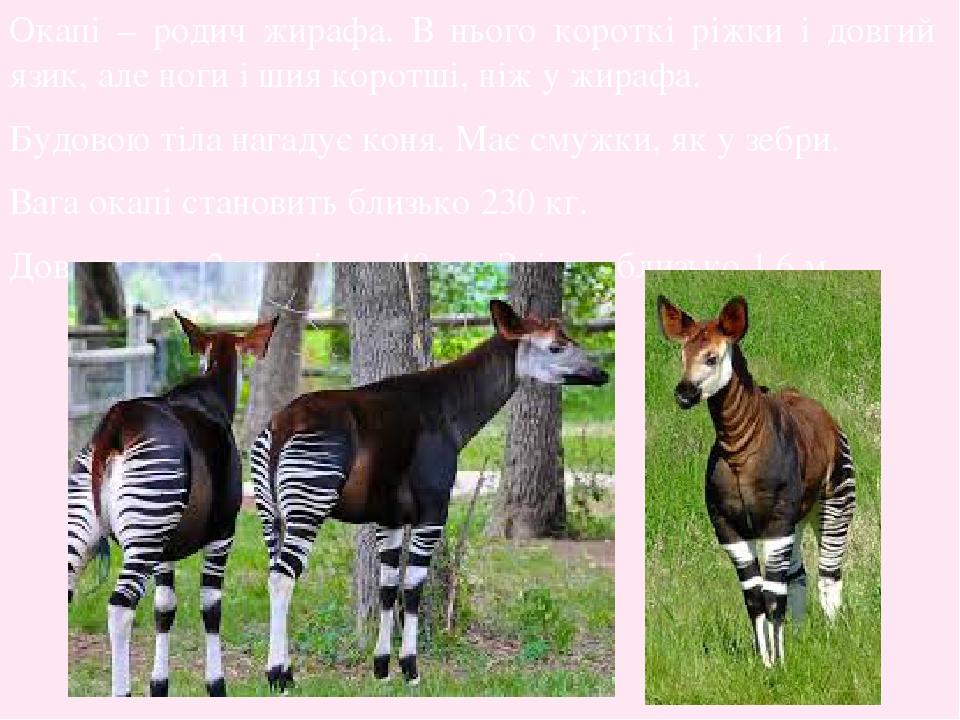 Окапі – родич жирафа. В нього короткі ріжки і довгий язик, але ноги і шия коротші, ніж у жирафа. Будовою тіла нагадує коня. Має смужки, як у зебри....