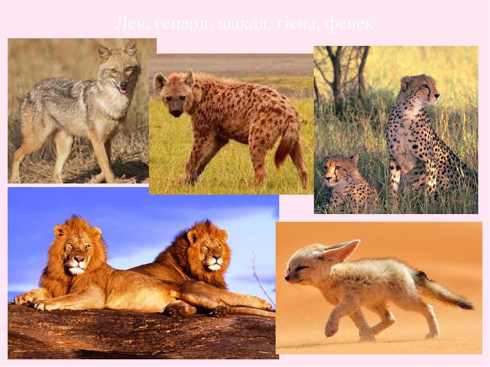 Лев, гепард, шакал, гієна, фенек