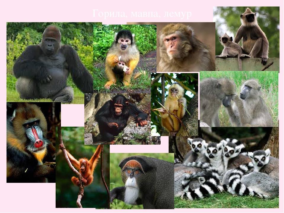 Горила, мавпа, лемур