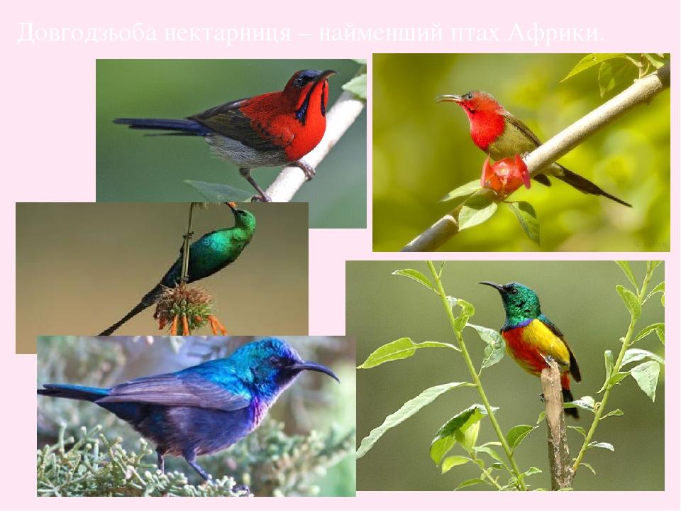 Довгодзьоба нектарниця – найменший птах Африки.