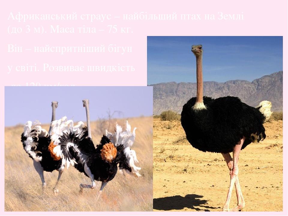 Африканський страус – найбільший птах на Землі (до 3 м). Маса тіла – 75 кг. Він – найспритніший бігун у світі. Розвиває швидкість до 120 км/год.
