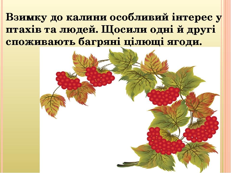Взимку до калини особливий інтерес у птахів та людей. Щосили одні й другі споживають багряні цілющі ягоди.