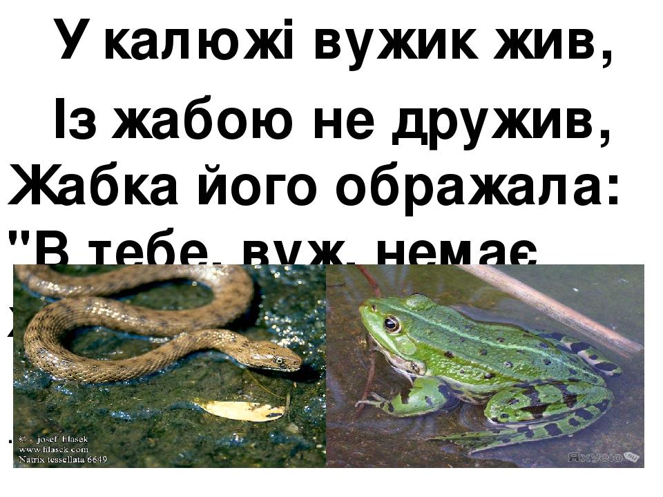"""У калюжі вужик жив, Із жабою не дружив, Жабка його ображала: """"В тебе, вуж, немає жала!"""" ."""