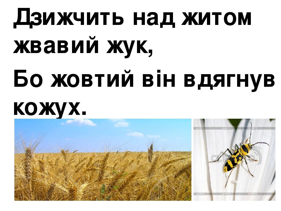 Дзижчить над житом жвавий жук, Бо жовтий він вдягнув кожух.