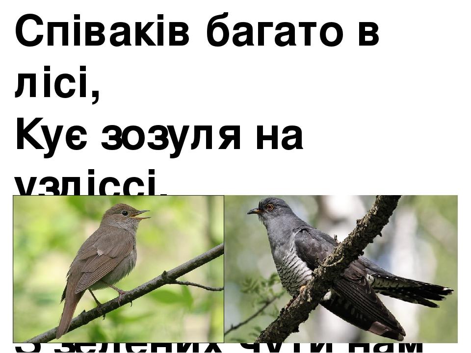 Співаків багато в лісі, Кує зозуля на узліссі. І солов'я пташиний спів З зелених чути нам гаїв.