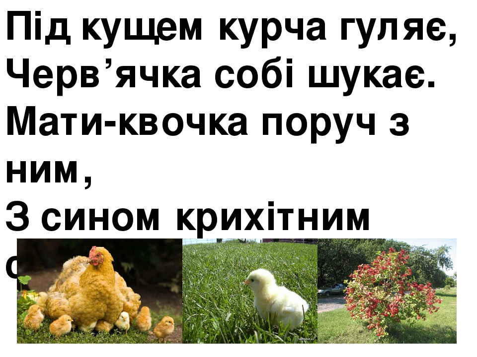 Під кущем курча гуляє, Черв'ячка собі шукає. Мати-квочка поруч з ним, З сином крихітним своїм.