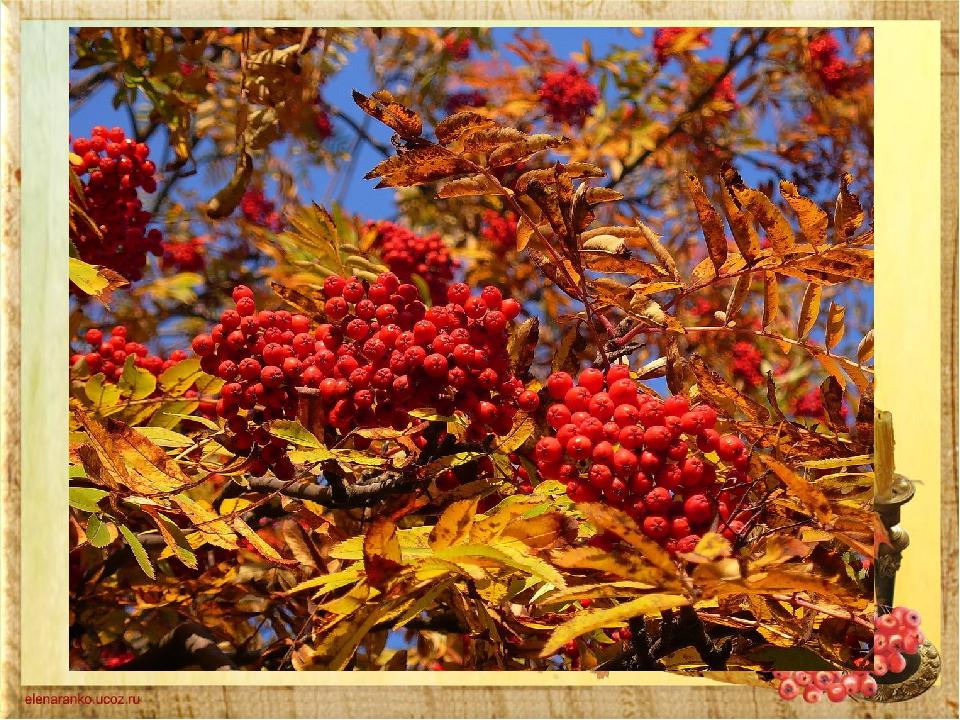 Весною зазеленіла, Влітку загоріла, Восени наділа Червоні корали.