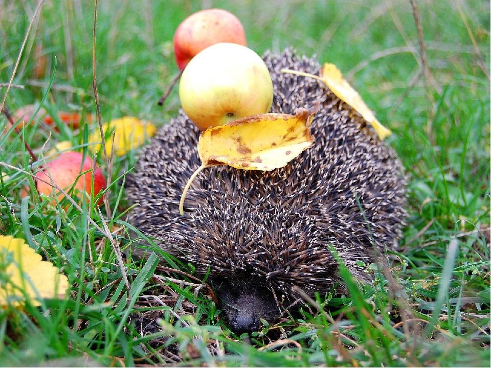Він готує собі м'яке ліжко для зимівлі. Він смішно катається по сухому листю, наколює їх на колючки і носить до свого зимовища Потім, згорнувшись у...