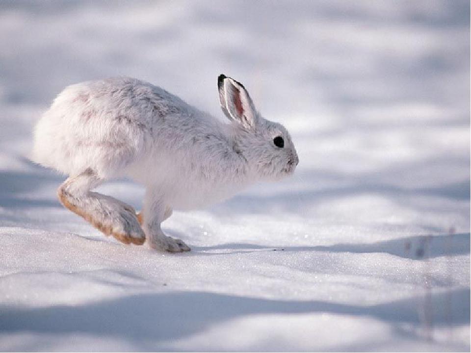 Вікторина « Хто я?» У _____ немає ні нори, ні гнізда Він ховається то під кущем, то в ярочку виспиться. Інколи ямку в снігу викопає там і заночує. ...