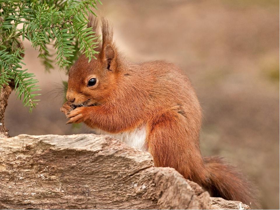 _____ живе у дуплі дерева у гнізді, яке будує з хмизу та гілок. У ньому тепло і затишно А якщо великий мороз , то _____ згортається клубо-чком, вкр...
